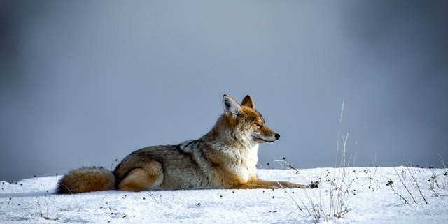 Coyote lying down in snow